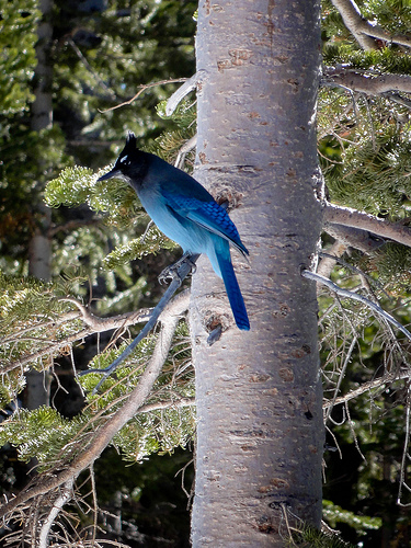 Beautiful Blue Jay in a tree on the trail.